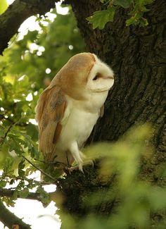 Barn owl- photographer mikejrae