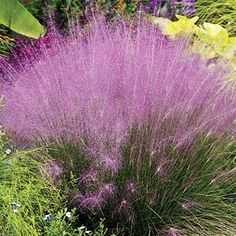 Pink Muhly Grass | Spring Hill Nursery | Add texture, movement and mass to your landscape with Pink Muhly Grass, an easy-to-grow, native ornamental grass. Its delicate pink plume seed heads appear in late summer and completely envelop the foliage!