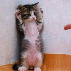No, don\'t shoot your finger. I promise I\'ll never do it again. Tell me, what was it I did? #cat #cute #funny #pets