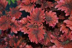 "Coleus Signature™ Gnash Rambler-  Curly whorled leaves of hot pink, red and purple. Striking.  	Most vibrant in full to part sun. Great in landscape or planters.    	Coleus Signature™ Gnash Rambler--  	Try with lime trailing foliage and orange and purple blooms.Plant details:   Annual 	 Height:	Up to  18""  Spread:	Up to  12"""