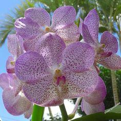 Vanda #orchidea#orchidee #orchids #ponyfony_flowers #ptk_flowers #quintaflower #igscflowers #paixoesporflores #ig_discover_petal #rainbow_petals #flower_special_vip #bns_lite #9vaga_strangeflowers9 #ip_blossoms #ip_connect #macro_turkey #bomdever_flower #orchid_mex #orchidworld #asorquideas