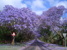 Street lined with jacaranda trees in bloom. In bloom the trees create a dreamlike vision. But don't park under one! The shedding flowers are a sticky mess. :D