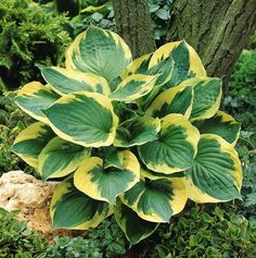Medium Cultivar  Twilight Hosta is a sport of f. Aureomarginata with larger leaves and better slug resistance. This hosta plant produces shiny dark green  Jean Bawden 2017