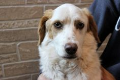 Meet Maddie, an adoptable Spaniel looking for a forever home. If you're looking for a new pet to adopt or want information on how to get involved with adoptable pets, Petfinder.com is a great resource.