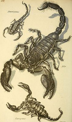 """Scorpio Europaeus Print Issued: Original hand-colored engraving from """"Zoological Lectures"""" drawn engraved and published in London circa 1809 by George Shaw and principal engraver Mrs."""