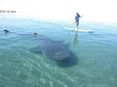 """...on my """"to do"""" list :) SUP and Dive with whale sharks!"""