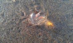 Baby jellyfish (: