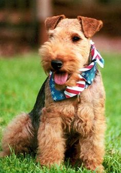 Welsh Terrier Puppies Pictures