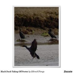 Black Duck Taking Off Poster