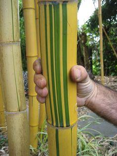 "Phyllostachys vivax ""Aureocaulis"" Garden Hose, Garden Plants, Bamboo Species, Grasses, Headboards, Evergreen, Panda, Photographs, Survival"