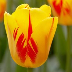Go for Gold-'Olympic Flame' tulip is a Darwin hybrid tulip, one of the most reliable groups of tulips for perennial performance in the landscape. Its dazzling golden petals erupt with streaks of red, similar to a flickering flame. It grows up to 2 feet tall and blooms in mid- to late spring