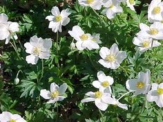 Anemone sylvestris--white flowers in April--1.5' h x 1' w--part shade--(I have growing in several parts of garden)