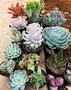 Did you give any succulents as gifts over the holidays? We know we sure did, such as Sedeveria 'Lilac Mist' (center) and Sedeveria 'Blue Elf' (top right) -- both are Altman Plants original hybrids.