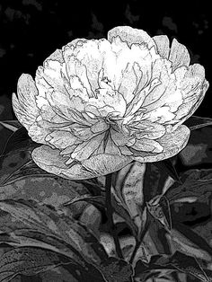 Mere Black and White Sketch of a Peony by Mary Sedivy.