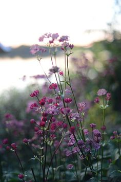 One of my fav perennials - Astrantia major 'Venice' älskar stjärnflocka! Wild Flowers, Beautiful Flowers, Summer Flowers, Purple Wildflowers, Purple Flowers, Meadow Flowers, Astrantia Major, Astrantia Flower, Full Sun Perennials