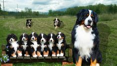 The Bernese Mountain Dogis a large-sized breed of dog, one of the four breeds of Sennenhund-type dogs from the Swiss Alps. The Bernese Mountain Dog is an ext. Cute Puppies, Dogs And Puppies, Dog Birth, Swiss Mountain Dogs, Cute Puppy Videos, Bow Wow, Bernese Mountain, Working Dogs, Dog Photos