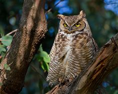 Learn to Identify Five Owls by Their Calls  These original hooters have a surprisingly big vocabulary. ...heard great horned but that stealthy silent ghostly one a barn owl flyin up hillside