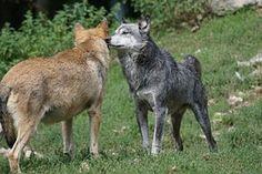 Loup, Tendue, Ordre De Préséance