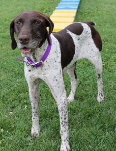 Wisconsin German Shorthaired Pointer Rescue WGSPR Inc. - Mel