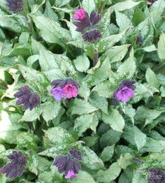 Another shade-loving plant that tolerates dry soil is lungwort.