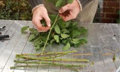# Tips For Landscaping On A Budget Taking rose cuttings an easy to guide, we also show you how to grow your roses in potatoes.Taking rose cuttings an easy to guide, we also show you how to grow your roses in potatoes. Growing Roses, Growing Plants, Growing Vegetables, Container Gardening Vegetables, Container Plants, Vegetable Gardening, Gardening For Beginners, Gardening Tips, Roses In Potatoes