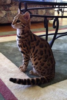 Gorgeous Bengal kitten--this type of cat is supposed to be better (less allergenic)for people with cat allergies.