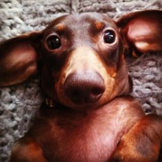 I love Dachshunds, if this little guy were black I would know just who he is....