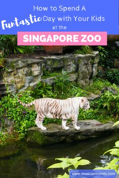 Singapore Zoo is a fun place to visit when you are traveling with kids to Singapore. See how to make the most out of visiting the Singapore Zoo