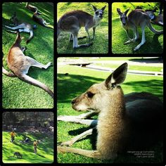 #Kangaroos at  #CurrumbinWildlifeSanctuary #GoldCoast Visit #Australia must go see their natural animals. So took my family for a day of fun exploration at the Currumbin Wildlife Sanctuary. Apart from kangaroos there was the koalas emu Tasmanian devil wombat and many other animals. But my son was rather energetic and he had more fun chasing the local birds and ducks at the sanctuary. Hmmm... by janleow http://ift.tt/1X9mXhV