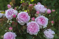 'Olivia Rose Austin' / David Austin Roses Combining old garden rose form and fragrance with modern day disease resistance, David Austin Roses are the best of the best - See more at: http://westphoria.sunset.com/2015/12/24/3-new-david-austin-roses-for-2016/#sthash.uaXaXh2Z.dpuf David Austin Roses Ltd.