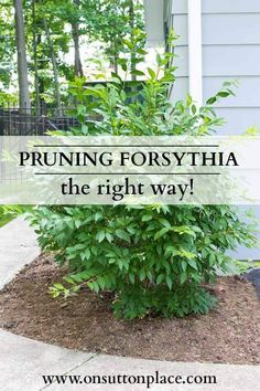 How to Prune Forsythia | Tips for yearly pruning and how to bring an old bush back to life. Lots of good ideas too