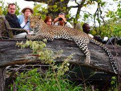 Le plus insaisissable du Big 5, les léopards sont cependant souvent vu dans les Sabi Sands.