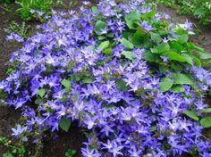 Campanula poscharskyana (klokjesbloem) -bloeitijd juni- augustus met blauwpaarse bloemen, heeft groene blaadjes groeit uit tot 20 cm hoogte en groeit over muurtjes en plantenbakken heen. Standplaats zonnig en halfschaduw in een licht vochtige en neutrale bodem.