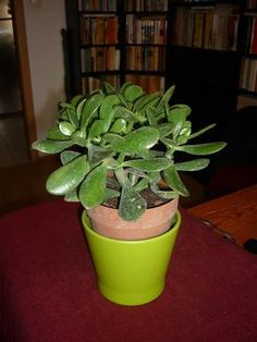 pozsgafa_Wolf Márta Aloa Vera, Feng Shui, Good To Know, Indoor Plants, Fall Decor, Succulents, Wolf, Gardening, Relax