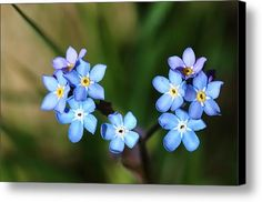Forget Me Not Canvas Print / Canvas Art By Rumyana Whitcher