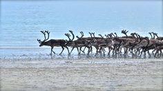 Reindeer in Bugøynes - Pykeija