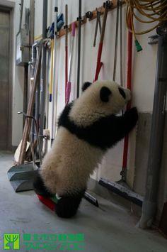 Yuan Zai, Taipei Zoo, 01/22/14