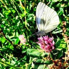 Wreszcie go zaczarowałam-dał się sfotografować#motyl#koniczyna #przyroda#łąka #butterfly #clover #trifoglio #meadow