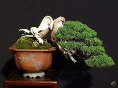 semi-cascade Juniper, with a great matched pot. By: Mauro Stemberger