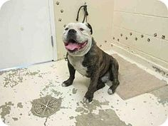 Castaic, CA - English Bulldog/American Bulldog Mix. Meet BEEFY, a dog for adoption. http://www.adoptapet.com/pet/14088084-castaic-california-english-bulldog-mix