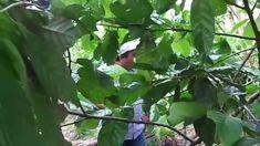 PRACTICA DE PODA EN EL CULTIVO DE CACAO (Theobroma cacao. L) PARTE 1