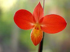 Phragmipedium besseae 'Haven' x besseae 'Smokin;'   by vacationtime, via Flickr