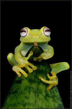 ~~Ribbit Rider ~ Glass Frog of Peru by Paul Bratescu~~
