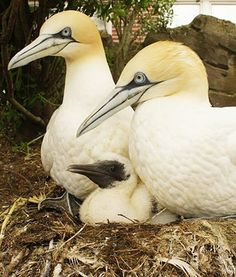 Three beautiful and healthy northern gannet chicks have hatched at the Zoo am Meer Bremerhaven in Bremerhaven, Germany. The zoo has remained one of the few European zoos to have successfully hatched the gannet chicks.