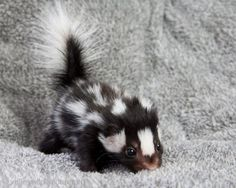 Is this a baby skunk? He's got some funny stripes. Maybe he's the Lady Gaga of the skunk world.