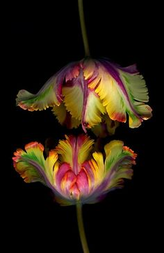 Parrot tulips. Their colors & contours remind me of figs, whose season is almost coming to an end...