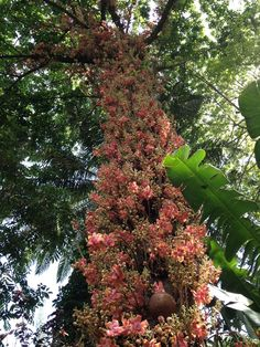 .....And here's the Couroupita guianensis (Cannonball Tree) from afar. Just WOW!  via @hawaiitropical