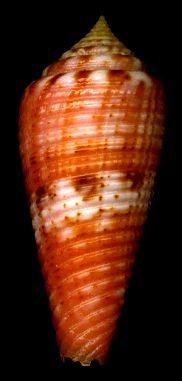 Conus granulatus Linnaeus, 1758 Glory-of-the-Atlantic Cone