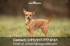 Chihuahua is the smallest dog breed, it's actually named after the state of chihuahua in Mexico.chihuahua arcomical,entertaining,loyal dogs #Chihuahua #dogzadda #buypets #petsforsale #petlovers #buyadog #puppies #cutedogs #dolmitiondogs #hyderabad #Doglovers
