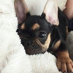 """""""Friday I'm in Love"""" ❤, Hamlet, the French Bulldog Puppy, @heyhamlet on instagram."""